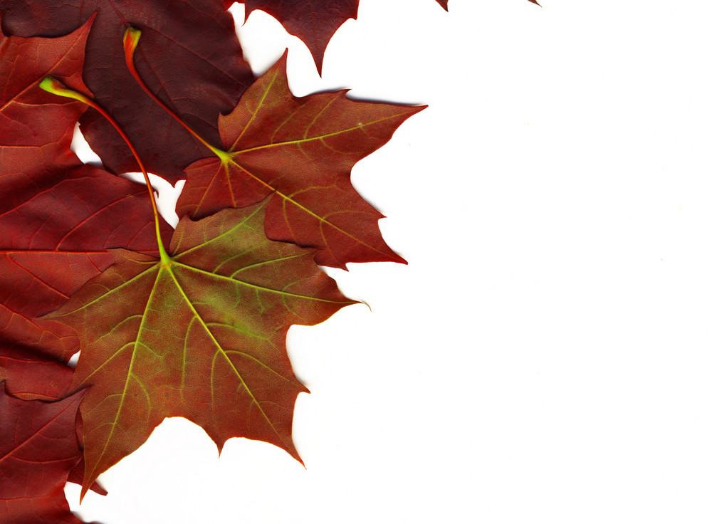 Red Autumn Leaves Isolated On White