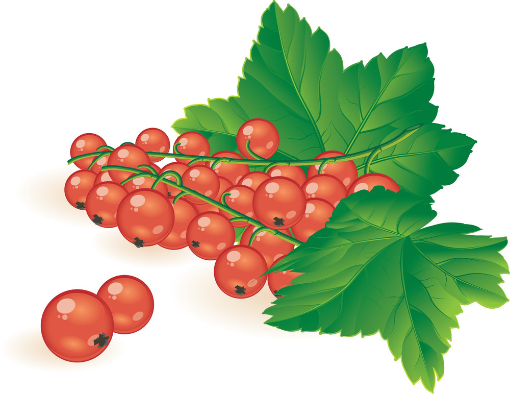 Red Currant. Vector.