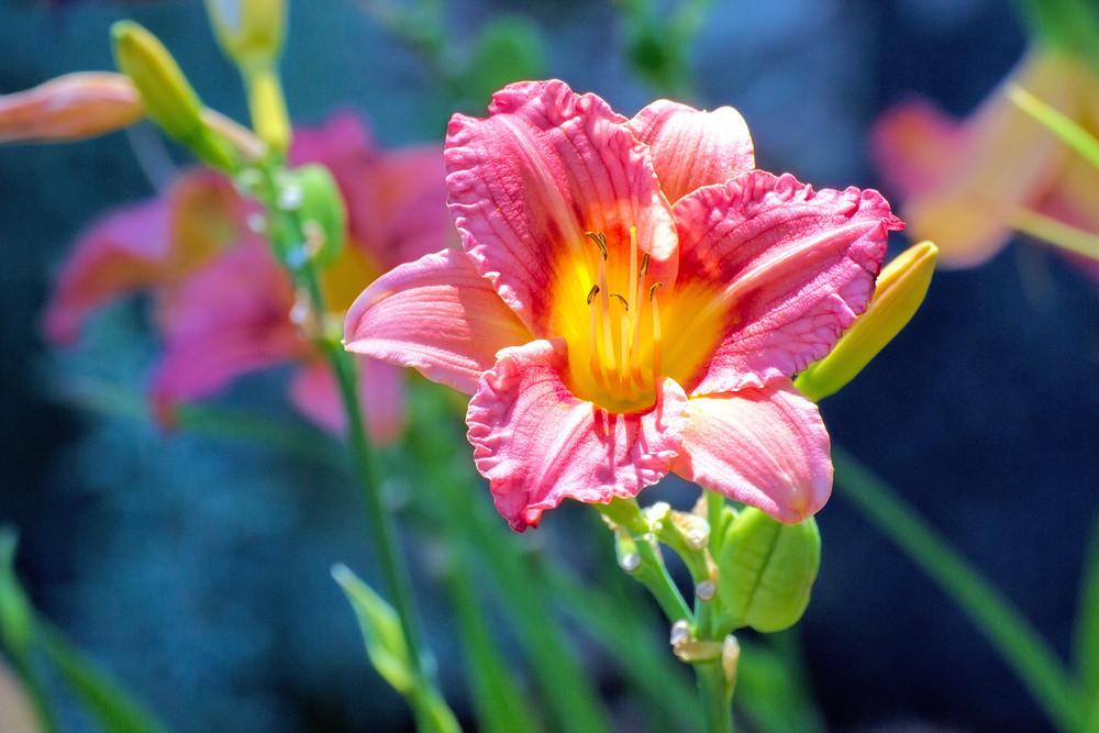 Red Daylily Closeup