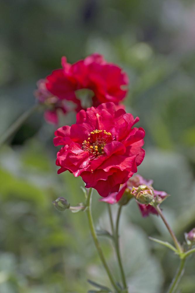 Red Flower Macro