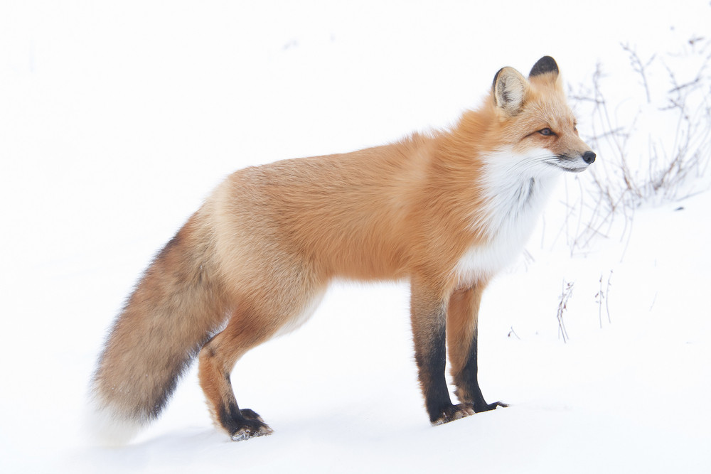 Red Fox in Snow 2