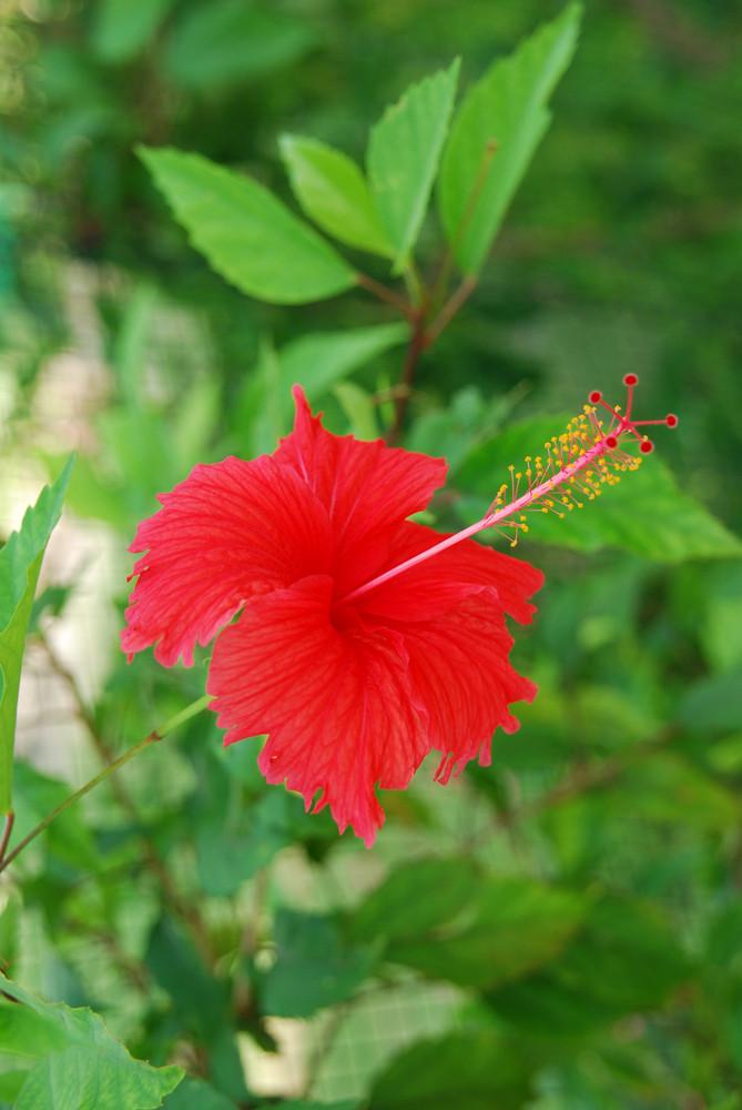 Red Hibiscus Pistilles Flower