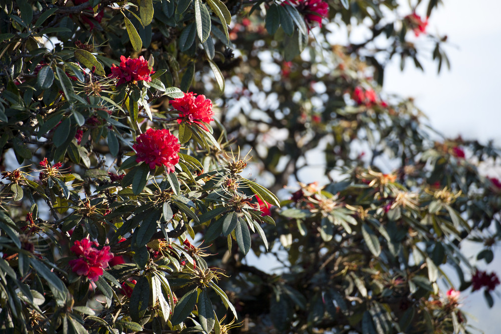 Red rhododendron in the mountain