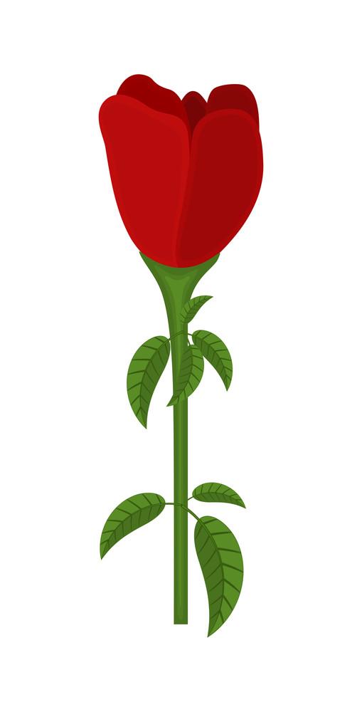 Red Rose Tulip