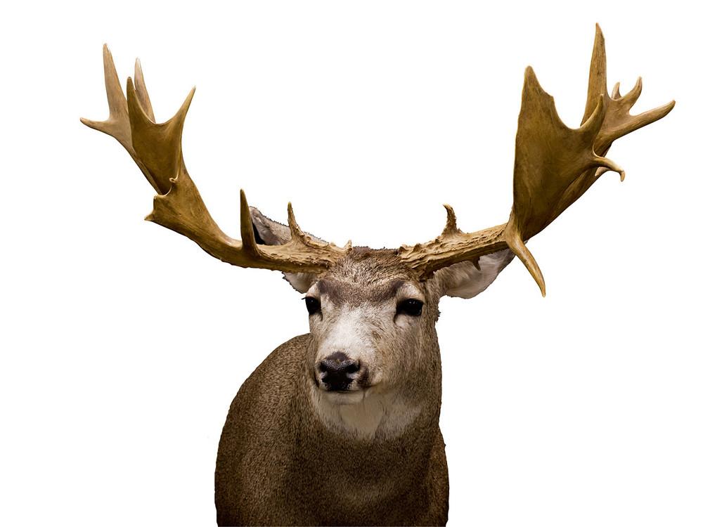 Reindeer Animal