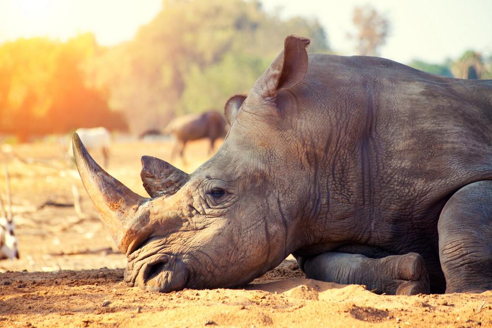 Rhinoceros have a rest in savannah