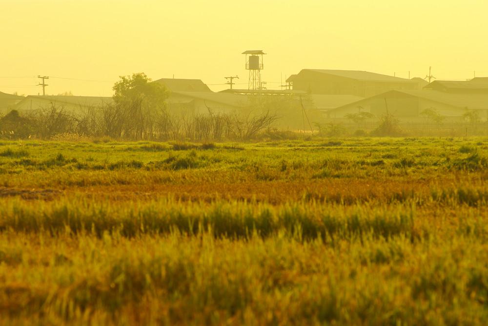 Rice field green grass  house background lawn sunset sunrise