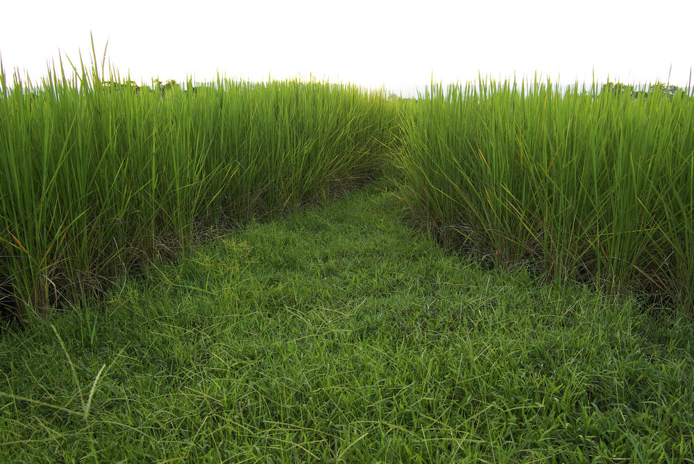 Rice field isolated on white background