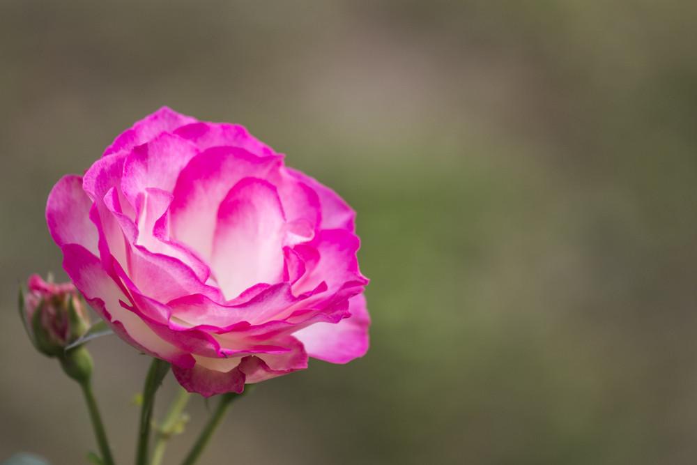 Rose strawberry ice