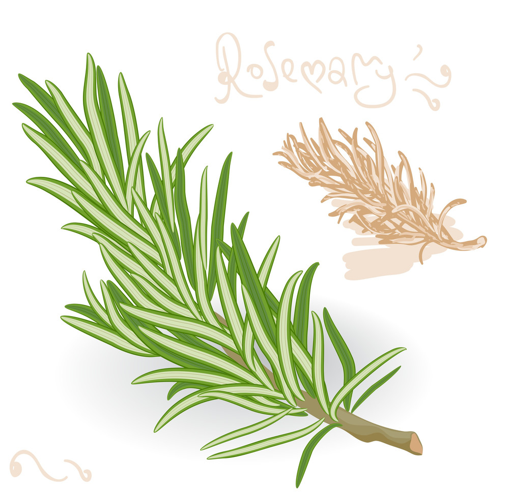 Rosemary Twig On White Background. Vector.