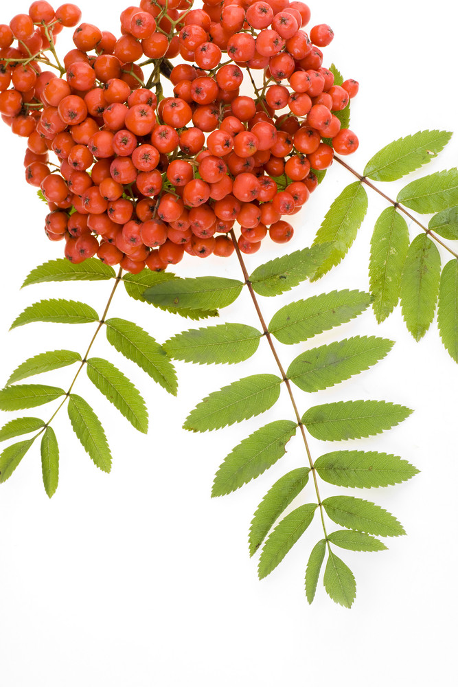 Rowan Red Berries