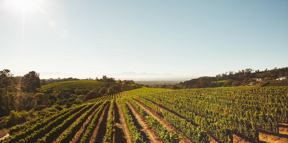 Картинки по запросу grape field