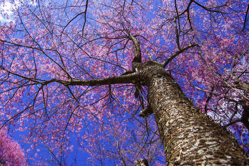 Sakura tree on blue sky