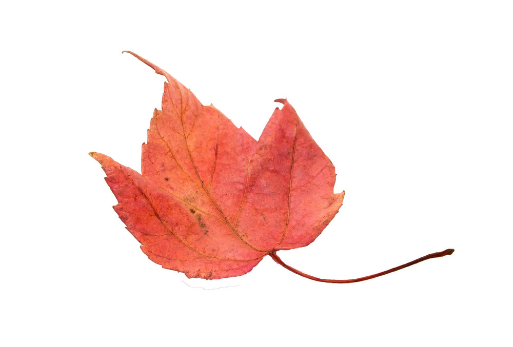 Seasons Small Red Maple Leaf