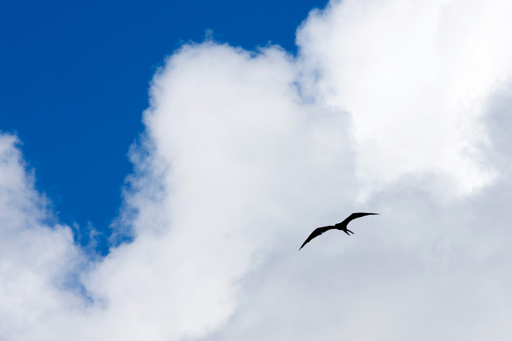 Silhouette of a Caribbean frigate bird flying through the sky high above the tropical sea.