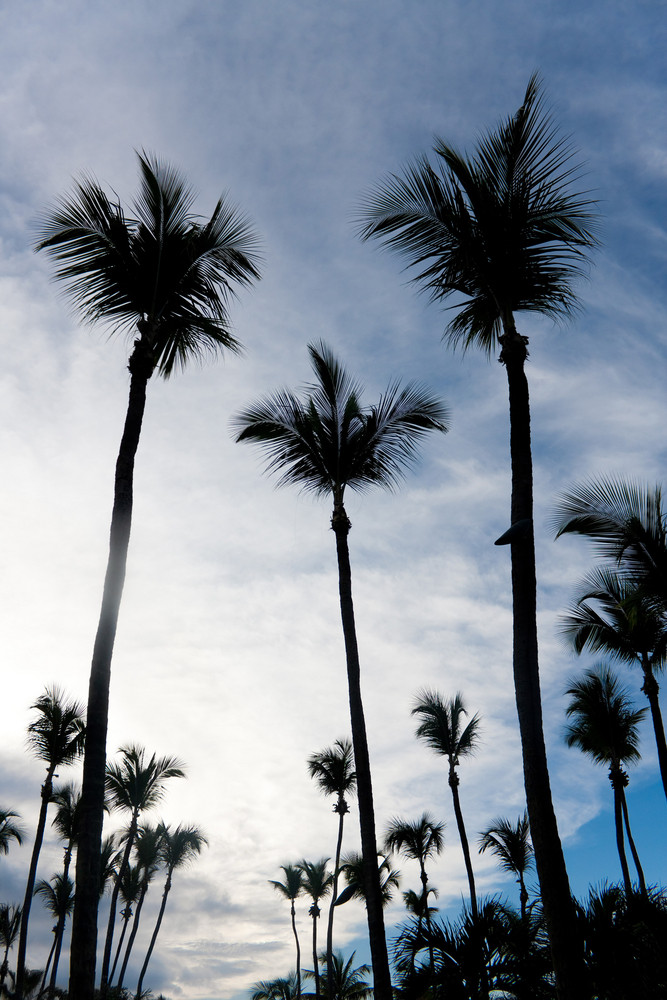 Silhouettes of tropical coconut palm trees over an early evening sky.