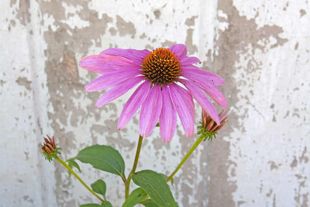 Single Cone Flower