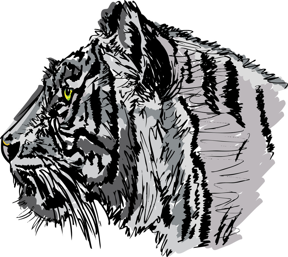 Sketch Of White Tiger. Vector Illustration