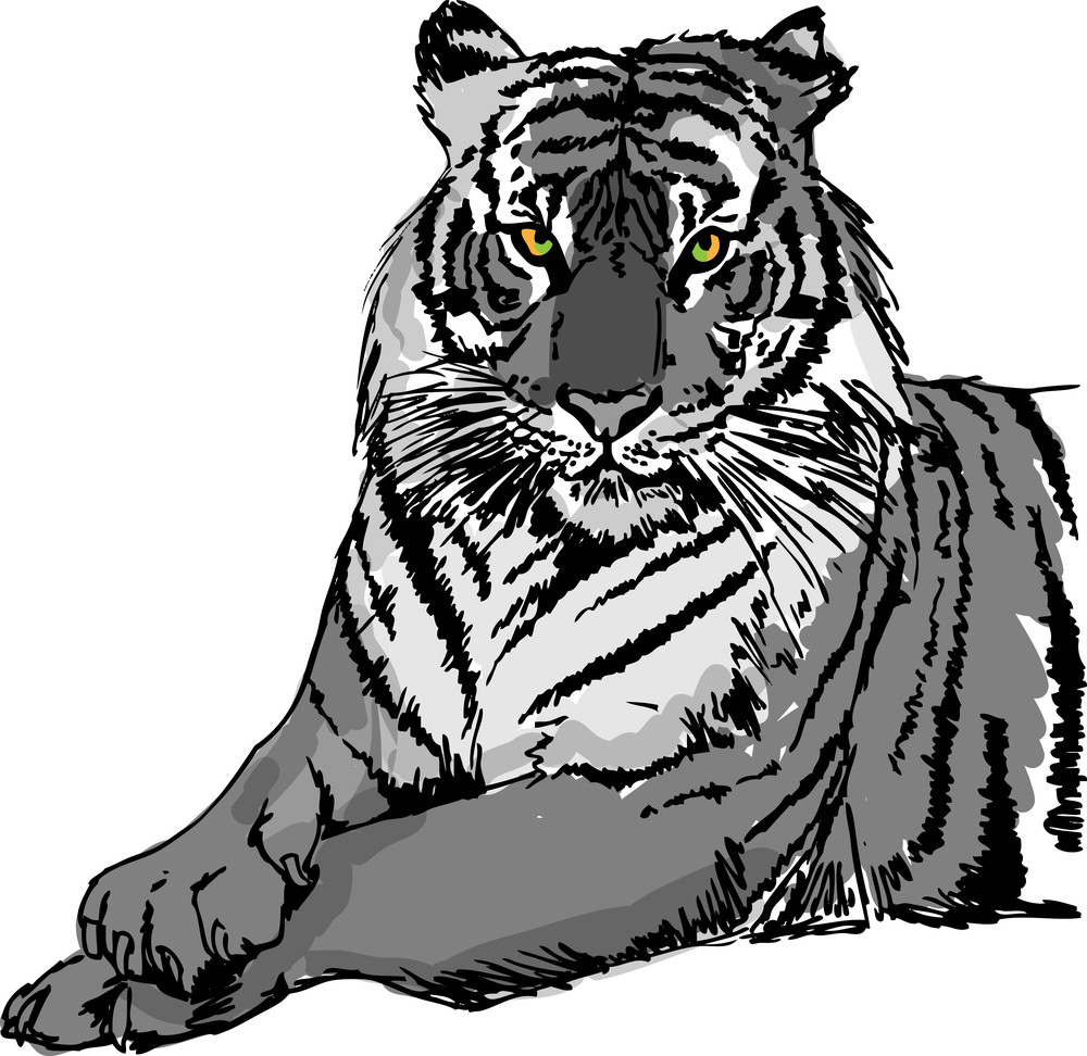 sketch of white tiger vector illustration royalty free stock image