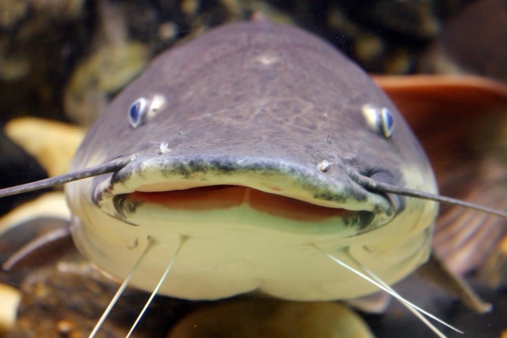 Smiling Catfish