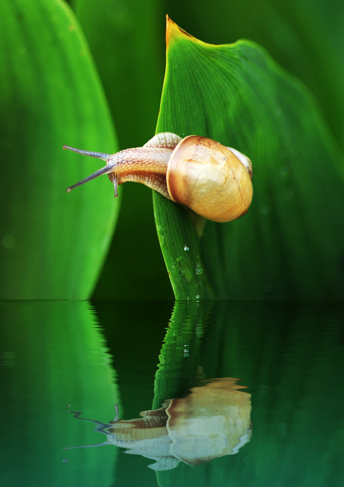Snail Reflected In Water