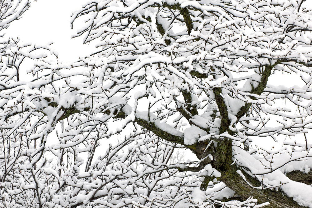 Snow On Tree - Winter Background