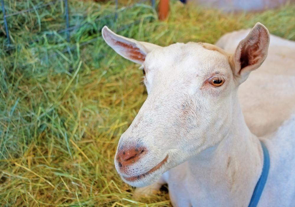 Sonnen Goat