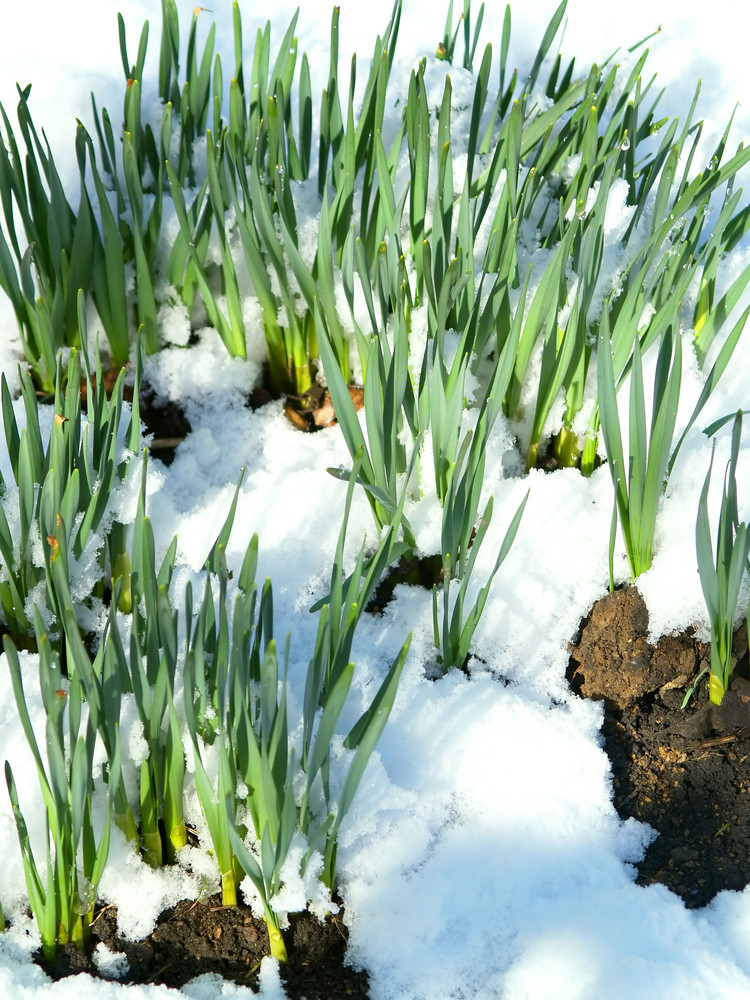 Spring Grass In Snow With Drops Of Water