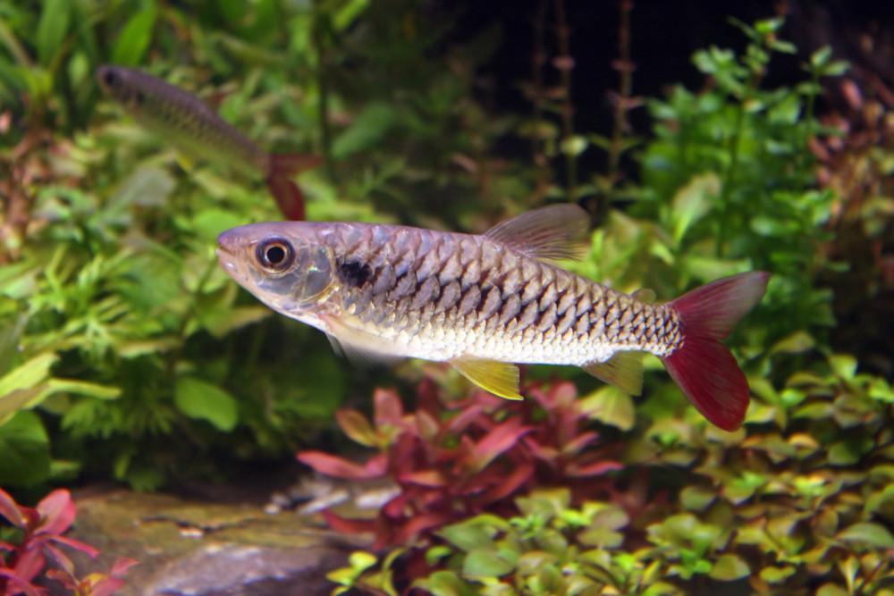 Stone Sucker Fish