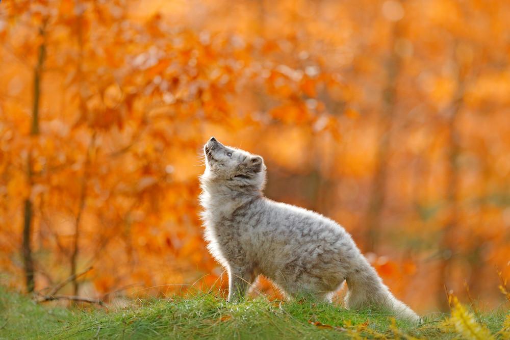 Arctic polar fox running in orange autumn leaves. Cute Fox, fall forest. Beautiful animal in the nature habitat. Orange fox, detail portrait, Czech. Wildlife scene from the wild nature. Vulpes lagopus