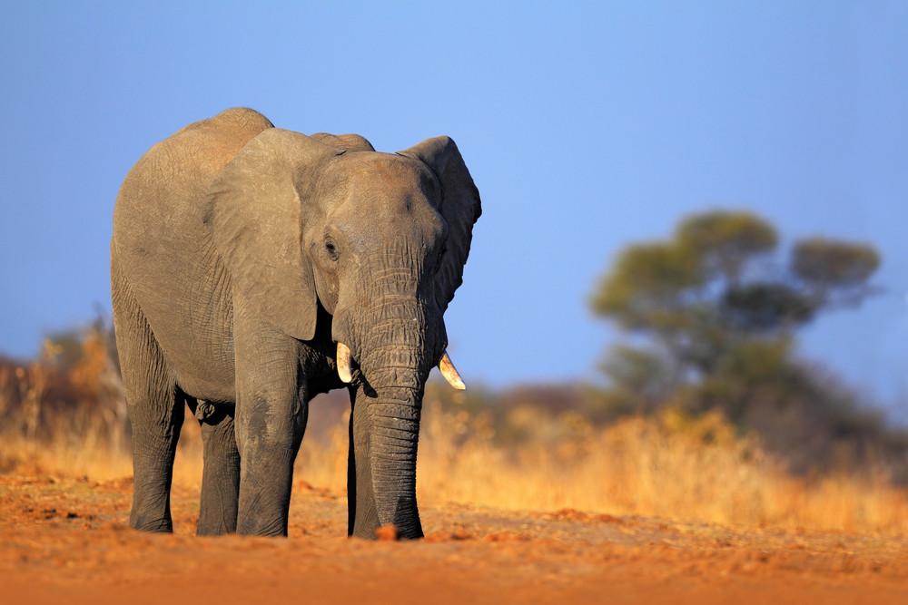 Big African Elephant, on the gravel roaad, with blue sky, Chobe National Park, Botswana