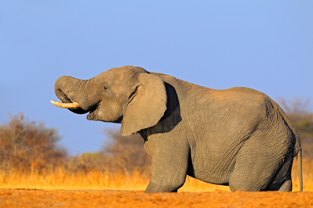 Big African Elephant, on the gravel road, with blue sky and green tree, animal in the nature habitat, Kenya. Animal from Africa with trunk. Wildlife scene from safari. Sunny day with elephant, Africa