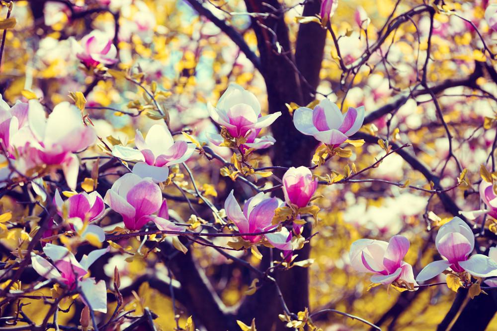 blossom magnolia flowers springtime royalty free stock image