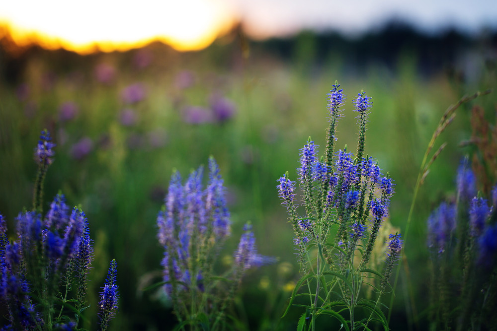 bright blue meadow flowers on green grass background. Summer natural field in evening