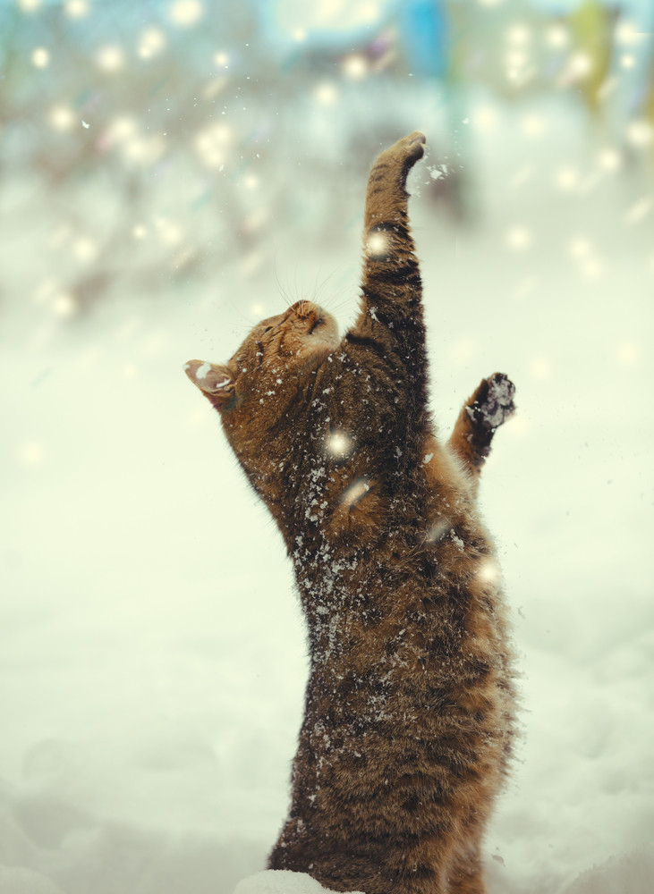 Cat with paws in the air playing with snow at blizzard.