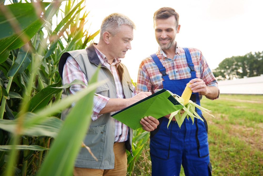 Checking the quality of corn plant