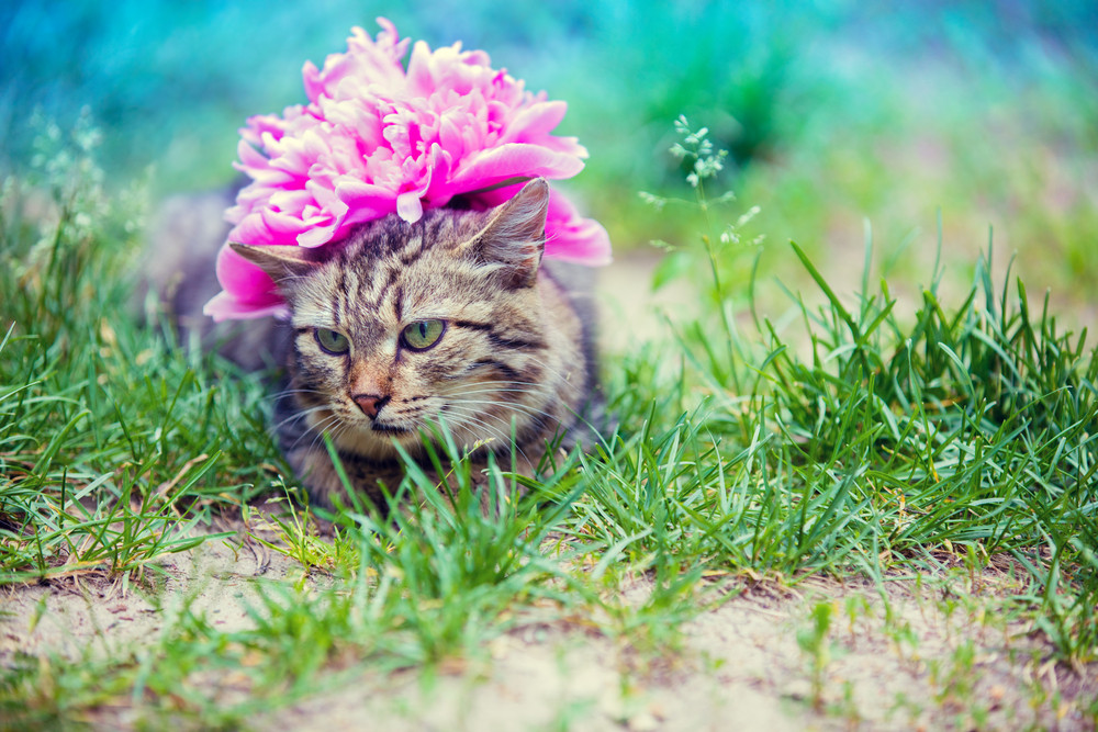 Cute siberian cat with peony flower on a head lying outdoor in a cute siberian cat with peony flower on a head lying outdoor in a grass in summer mightylinksfo