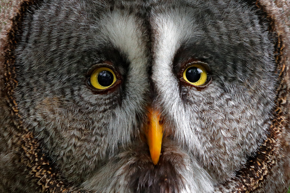 Detail face portrait of owl. Owl hiden in the forest. Great grey owl, Strix nebulosa, sitting on old tree trunk with grass, portrait with yellow eyes. Animal in the forest nature habitat. Sweden