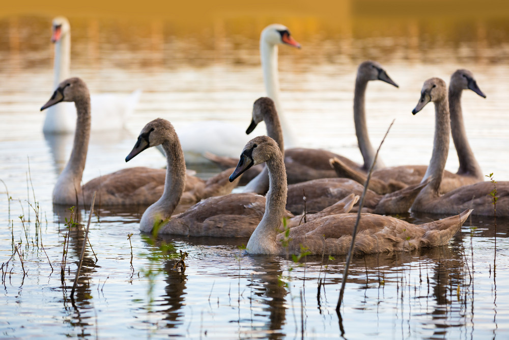 family of swans swimming on the lake