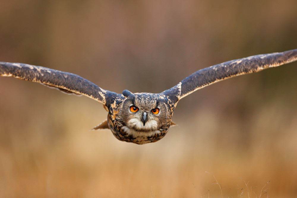 Flying bird with open wings in grass meadow, face to face detail attack fly portrait, orange forest in the background, Eurasian Eagle Owl, Bubo bubo, animal with big eyes, nature habitat, Sweden.
