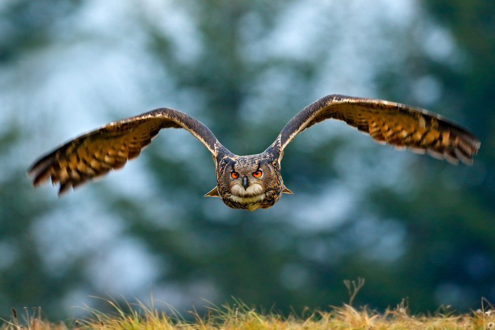 Flying Eurasian Eagle owl with open wings with snow flake in snowy forest during cold winter. Action wildlife scene from nature. Bird from Norway. Big orange eyes. Face fly of owl.