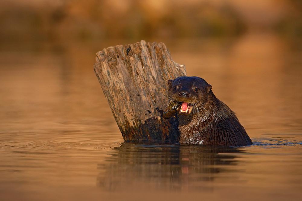 Giant Otter, Pteronura brasiliensis, portrait in the river water level, Rio Negro, Pantanal, Brazil