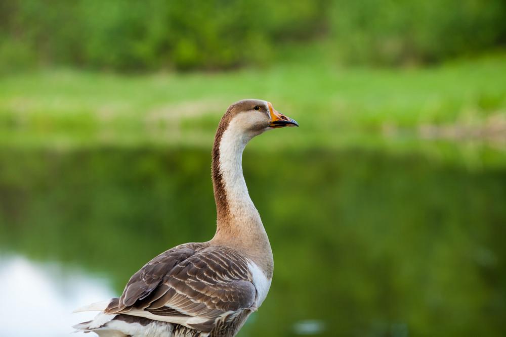 Gray goose walking on the lake bank