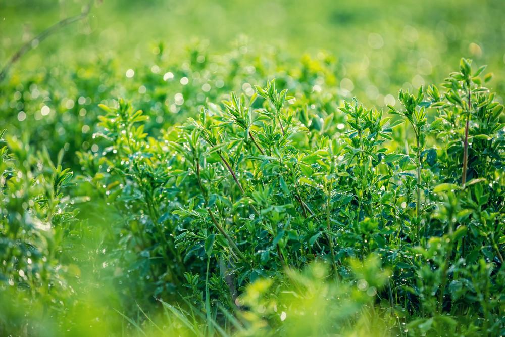 Green clover lawn after rain