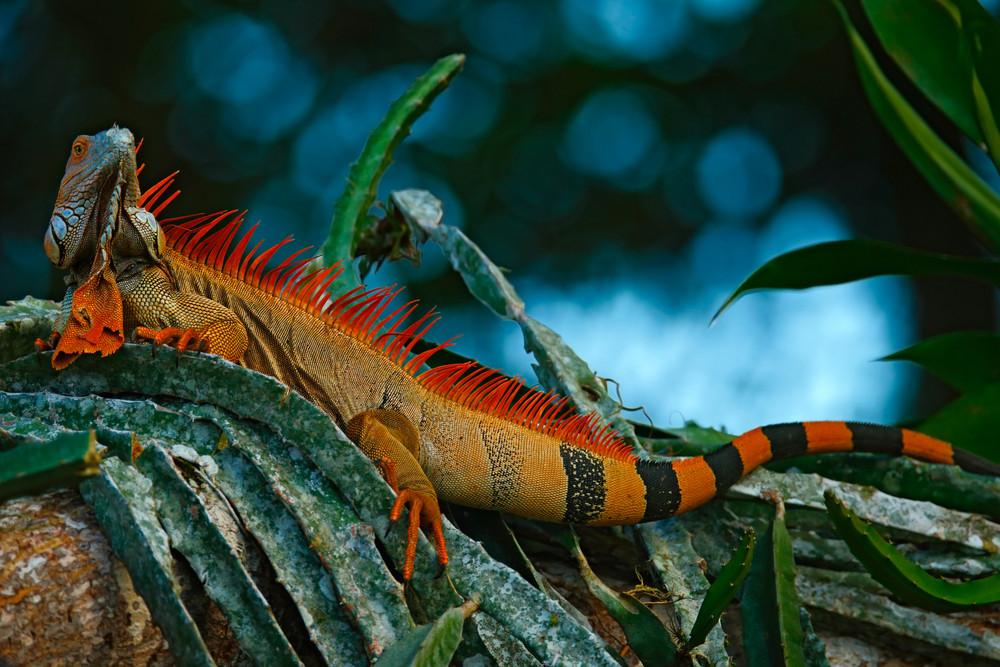 Green iguana, Iguana iguana, portrait of orange big lizard in the dark green forest, animal in the nature tropic forest habitat, Corcovado National Park, Costa Rica