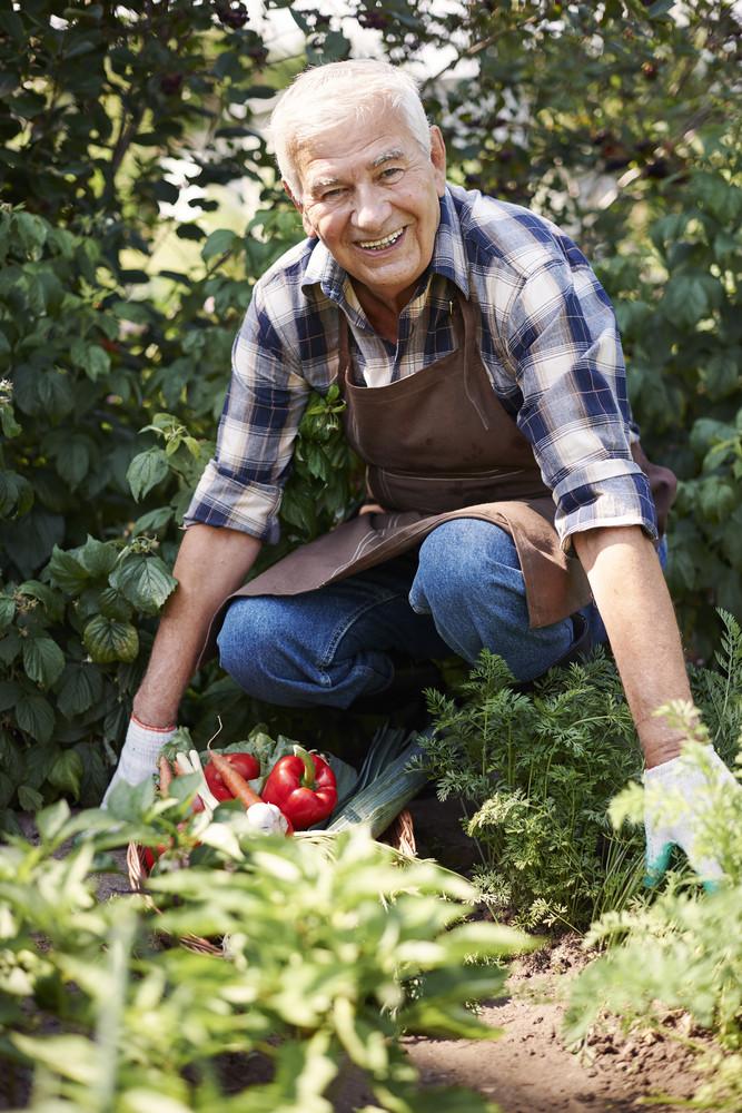 Harvesting fresh vegetable in the garden