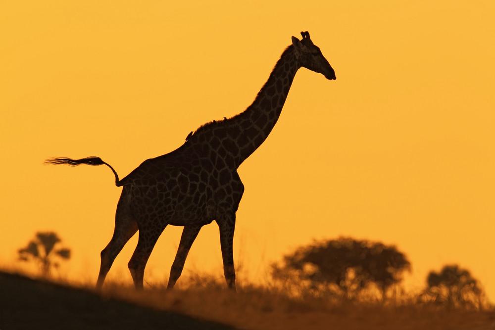 Idyllic giraffe silhouette with evening orange sunset, Botswana, Africa