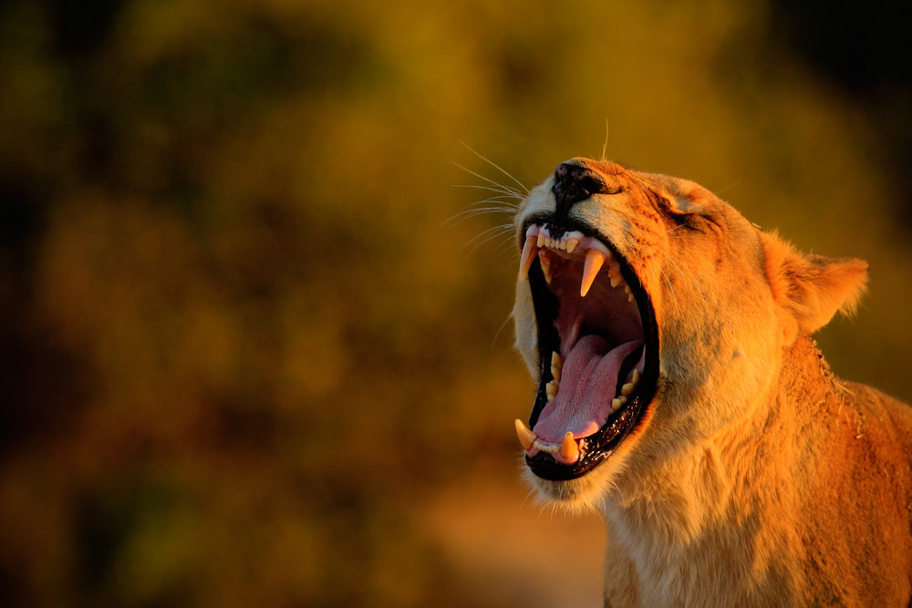 Lion female with open muzzle and big tooth. Beautiful evening sun. African lion, Panthera leo, detail portrait of big animal, evening sunset, Chobe National Park, Botswana, South Africa. Lion mouth.