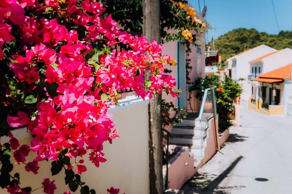 Magenta flowers on the walkway in small mediterranean village. Traditional greek house on street with a big bougainvillea flowers