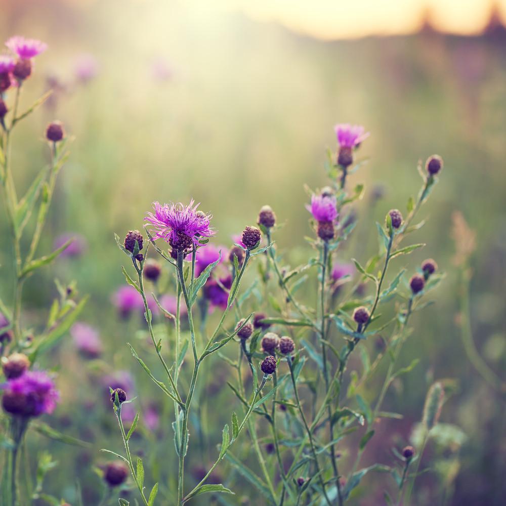 Many little pink flowers in green grass in field fresh early many little pink flowers in green grass in field fresh early morning natural background mightylinksfo